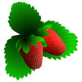 Two fresh strawberry Royalty Free Stock Images