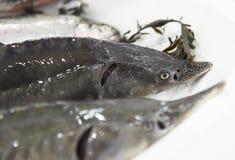 Two fresh sturgeons on ice Royalty Free Stock Photo