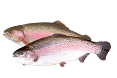 Two fresh trout fish isolate Royalty Free Stock Photos
