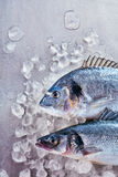 Two fresh uncooked fish - a dorade and loup de mer. Two fresh uncooked fish - a dorade or gilt-head bream and loup de mer, or Mediterranean sea bass, on crushed stock images