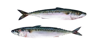 Two fresh watercolor fish on white background. Two fresh watercolor fish mackerel on white background Stock Photos