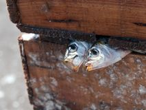 Two freshly sardines stock images