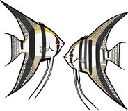 Two Freshwater Angelfish Stock Photo