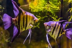 Free Two Freshwater Angelfishes Looking At Each Other, Popular Aquarium Pets, Tropical Fish From The Amazon Basin Stock Photography - 141813722