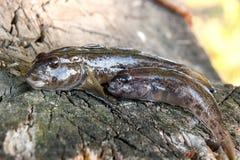 Two freshwater bullhead fish or round goby fish just taken from. Freshwater bullhead fish or round goby fish known as Neogobius melanostomus and Neogobius Stock Photos