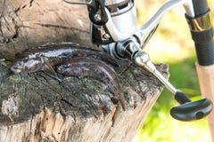Two freshwater bullhead fish or round goby fish just taken from. Freshwater bullhead fish or round goby fish known as Neogobius melanostomus and Neogobius Royalty Free Stock Image