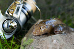 Two freshwater bullhead fish or round goby fish just taken from. Freshwater bullhead fish or round goby fish known as Neogobius melanostomus and Neogobius Royalty Free Stock Photography