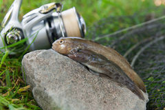 Two freshwater bullhead fish or round goby fish just taken from. Freshwater bullhead fish or round goby fish known as Neogobius melanostomus and Neogobius Stock Photography