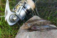 Two freshwater bullhead fish or round goby fish just taken from. Freshwater bullhead fish or round goby fish known as Neogobius melanostomus and Neogobius Stock Photo