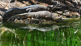 Two freshwater crocodile on a river bank Stock Images