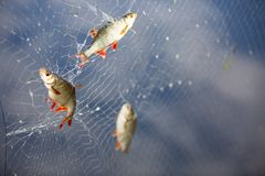 Two freshwater fish caught in a net stock photo