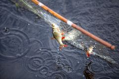 Two freshwater fish caught in a net royalty free stock photos