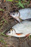 Two freshwater fish white bream or silver fish on black fishing Stock Photos