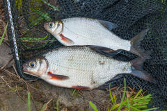 Two freshwater fish white bream or silver fish on black fishing Stock Image