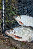 Two freshwater fish white bream or silver fish on black fishing Royalty Free Stock Photos