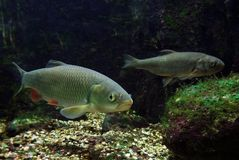Two freshwater fishes Stock Image