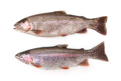 Two Freshwater Rainbow Trout Isolated Stock Photography