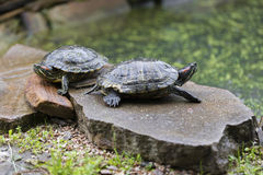 Two freshwater turtles Stock Images