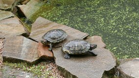 Two freshwater turtles. On a rock in pond stock video