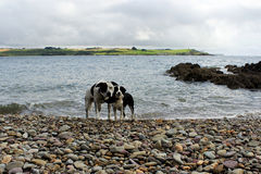 Two friends on the beach. Two dogs, Crossheaven beach, Ireland Royalty Free Stock Photography