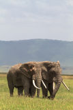 Two friend. Old elefants from crater  NgoroNgoro. Stock Image