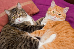 Two friendly cat Stock Photos