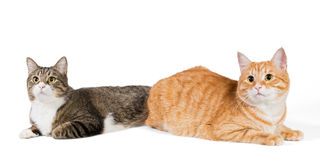 Two friendly cat Royalty Free Stock Image