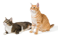 Two friendly cat Stock Image