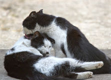 Two friendly cats kissing Royalty Free Stock Photography