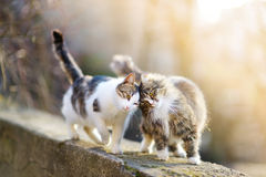 Two friendly cats Royalty Free Stock Images