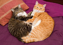 Two friendly domestic cat Royalty Free Stock Photography
