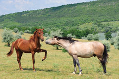 Two friendly horses Royalty Free Stock Photos