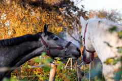 Two friendly horses playing with each other Royalty Free Stock Image
