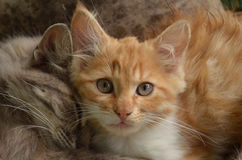 Two friendly kittens Royalty Free Stock Images