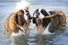 Two friendly 160lb. Saint Bernards sharing a stick in the water. Stock Photography