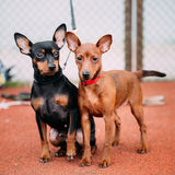 Two Friendly Miniature Pinschers Pinchers Staying Together Stock Photos