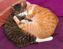 Two friendly pet cat Stock Image