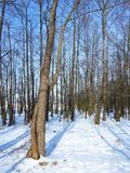 Two friendly trees in forest, Lithuania Royalty Free Stock Image