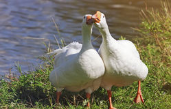 Two friendly white funny Goose standing next to the green banks Stock Photo