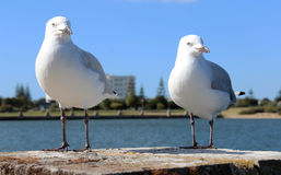 Two friendly white seagulls standing on a brick pillar by the estuary Stock Image