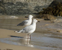 Two friendly white seagulls standing on a wet  sandy beach  . Stock Photography