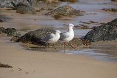 Two friendly white seagulls walking  on a wet  sandy beach  . Stock Photos