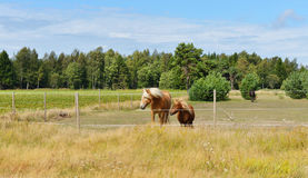 Two friends. Horse and pony in pasture Stock Image