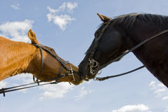 Two friends horses Royalty Free Stock Images