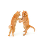 Two friends kittens dancing and speaking. Isolated on white background Stock Images