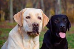 Two friends. Portrait of two labrador retriever stock photos