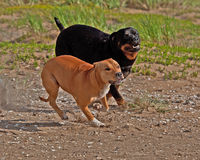 Two friends running together. On a beach, a female American Staffordshire Terrier and a female rottweiler Royalty Free Stock Image