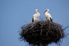 Two friends - stork couple on nest on the blue sky Stock Image