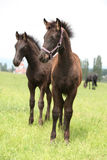 Two friesian foals, one with halter, standing on pasturage Stock Photo