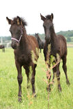 Two friesian foals on pasturage behind some vegetable Royalty Free Stock Photo